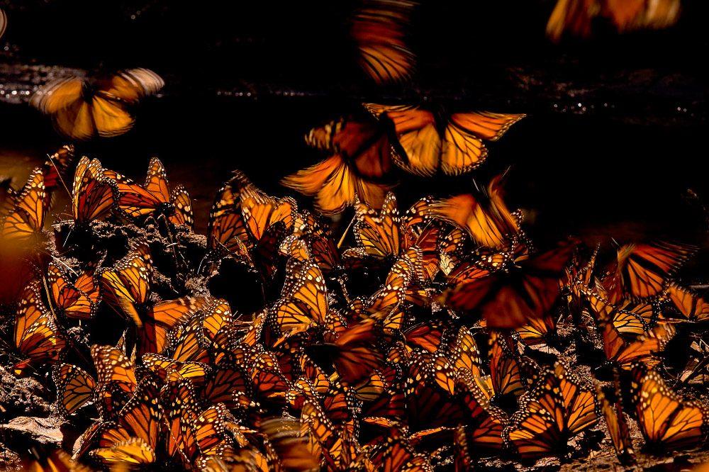 Imagenes Ciclo De Vida De Las Mariposas Monarca Jpg on Galerias Dibujos De Mariposas Para Colorear