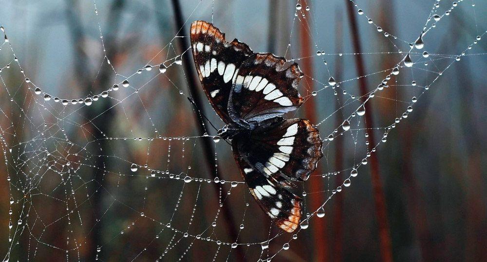 mariposas no están exentas al acecho de los depredadores naturales