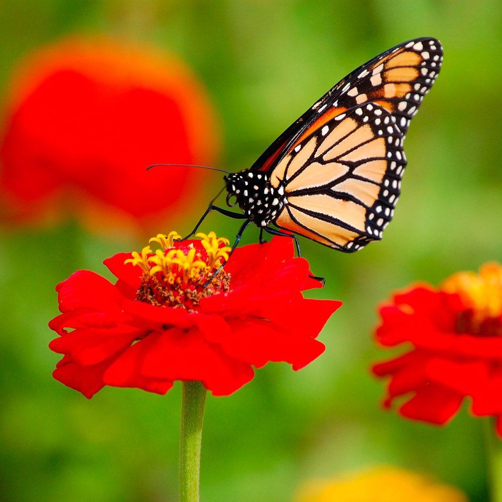 Imagenes Fotos De Mariposas Monarca Jpg on Galerias Dibujos De Mariposas Para Colorear