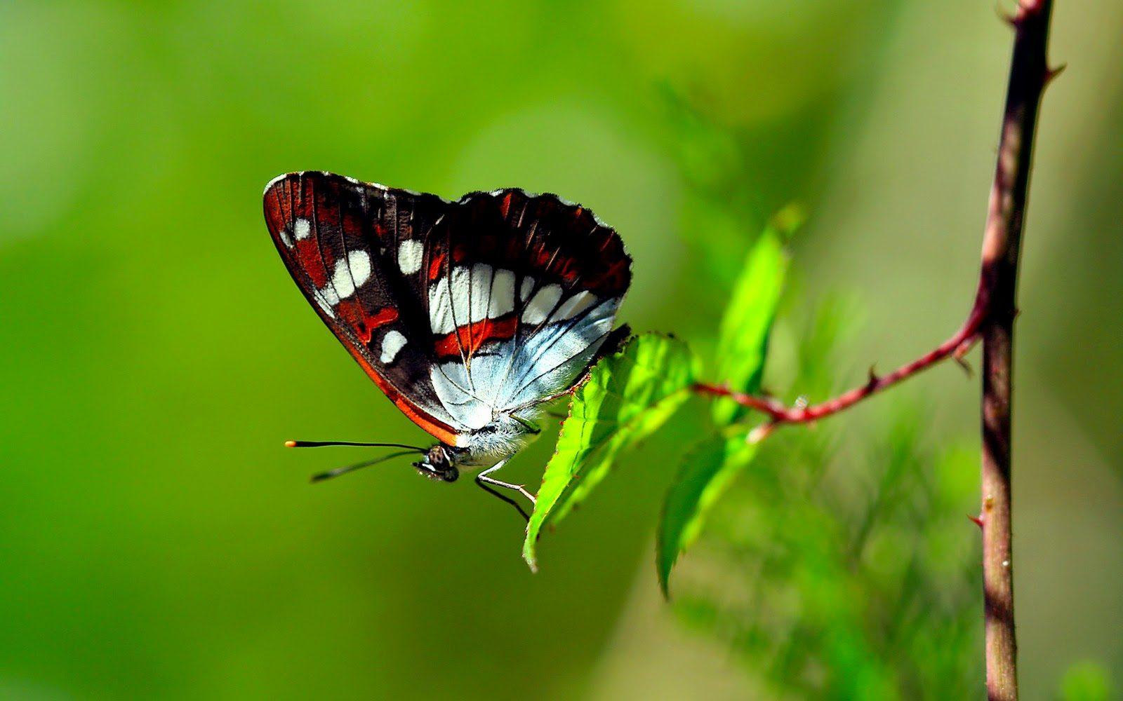 Mariposas: guías de especies, imágenes y recursos.