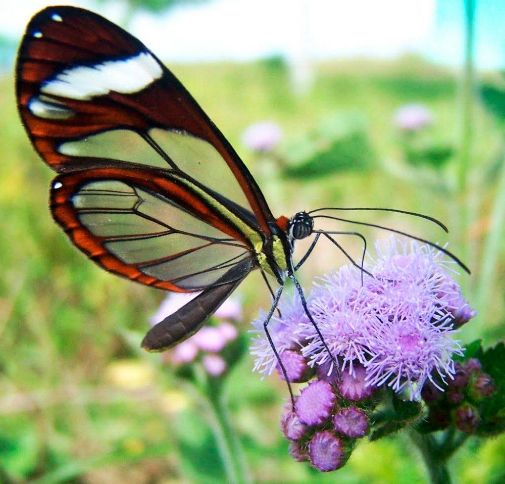 Galería de imágenes: Mariposas de cristal