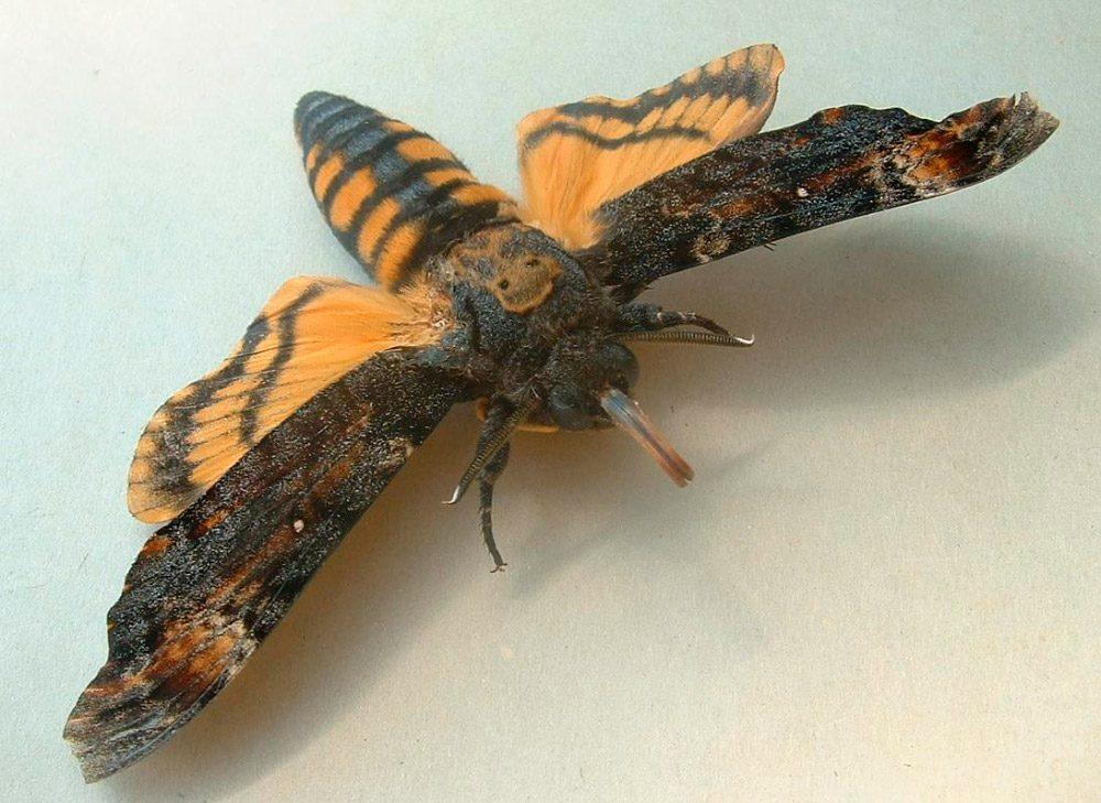 Galerias Mariposas Esfinge Calavera on Galerias Dibujos De Mariposas Para Colorear