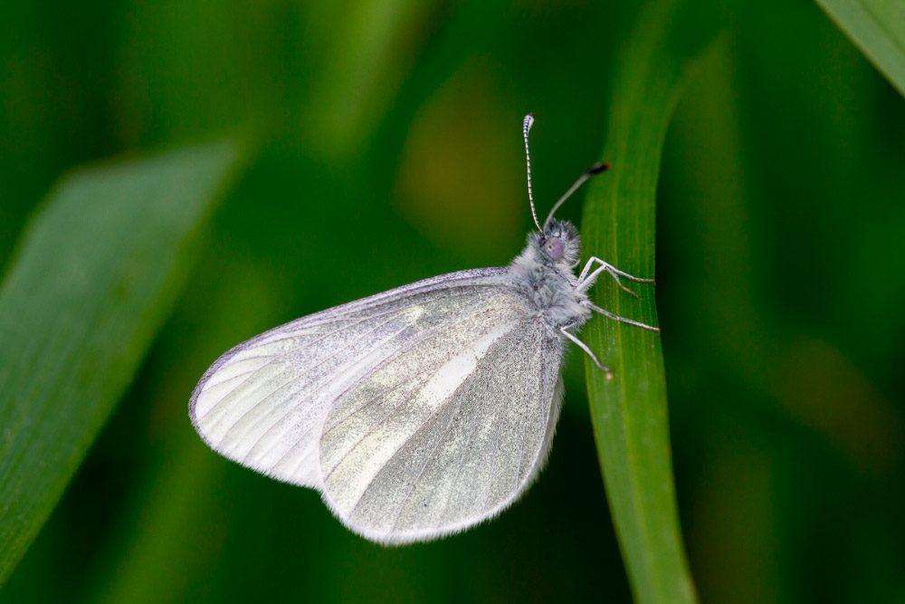 Mariposa Blanca Características Significado Y Mucho Más