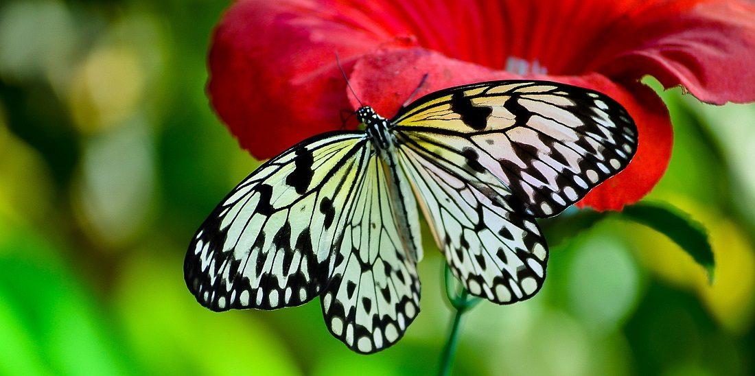 Mariposa De Alas Blancas Y Negras :: Imágenes Y Fotos