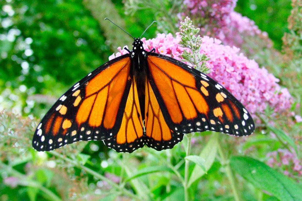 Galerias Mariposas Venenosas on Galerias Dibujos De Mariposas Para Colorear