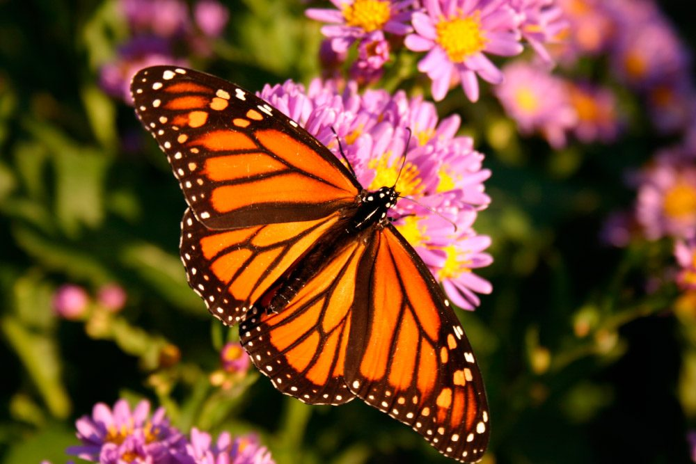Imagenes Mariposa Monarca Jpg on Galerias Dibujos De Mariposas Para Colorear