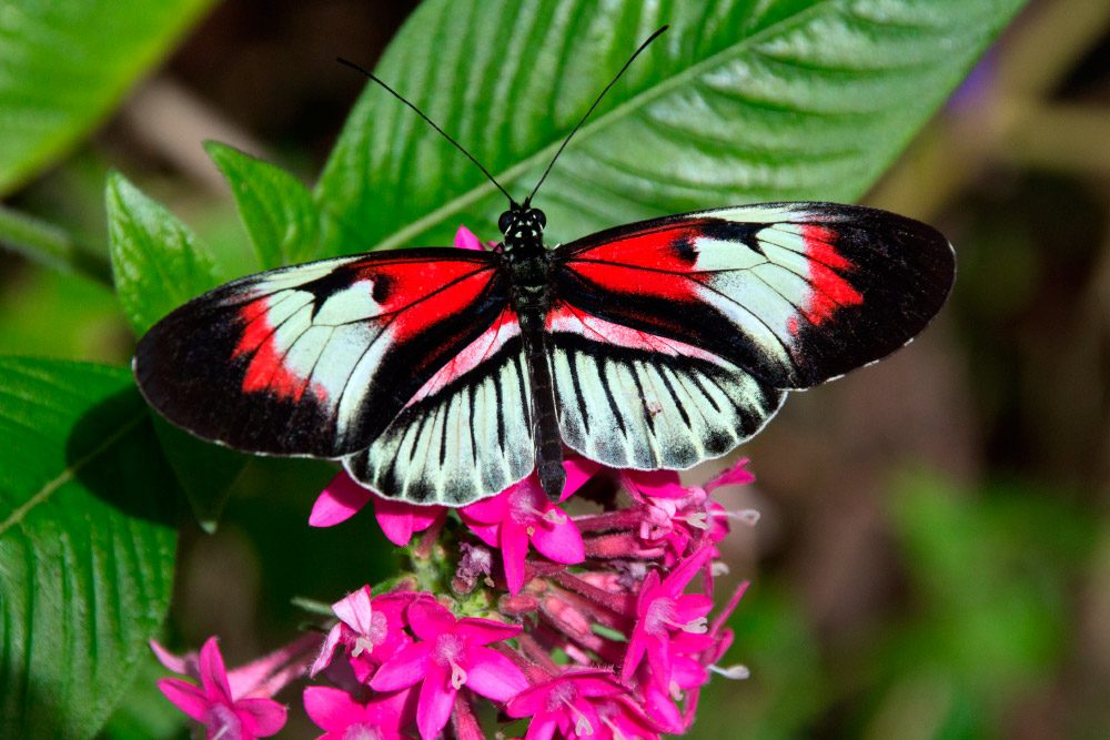 Dibujos de mariposas » MARIPOSAPEDIA