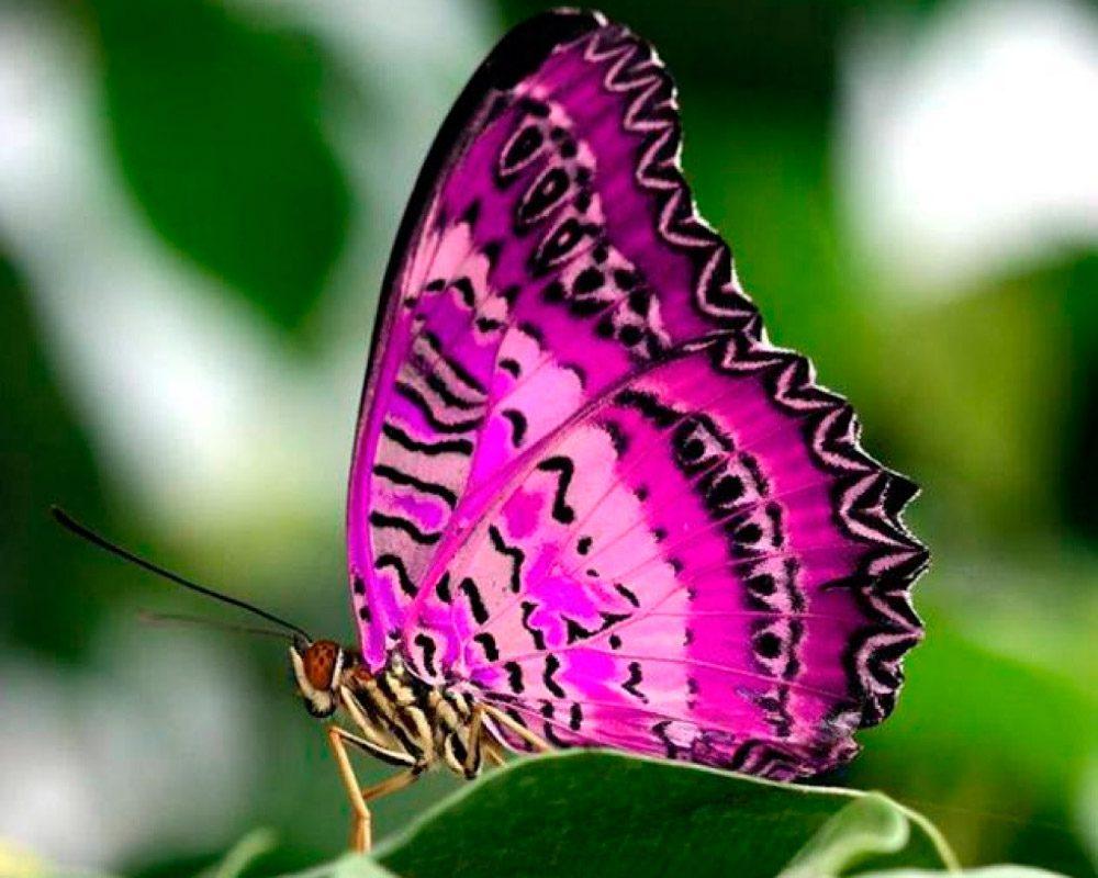 Mariposa rosa