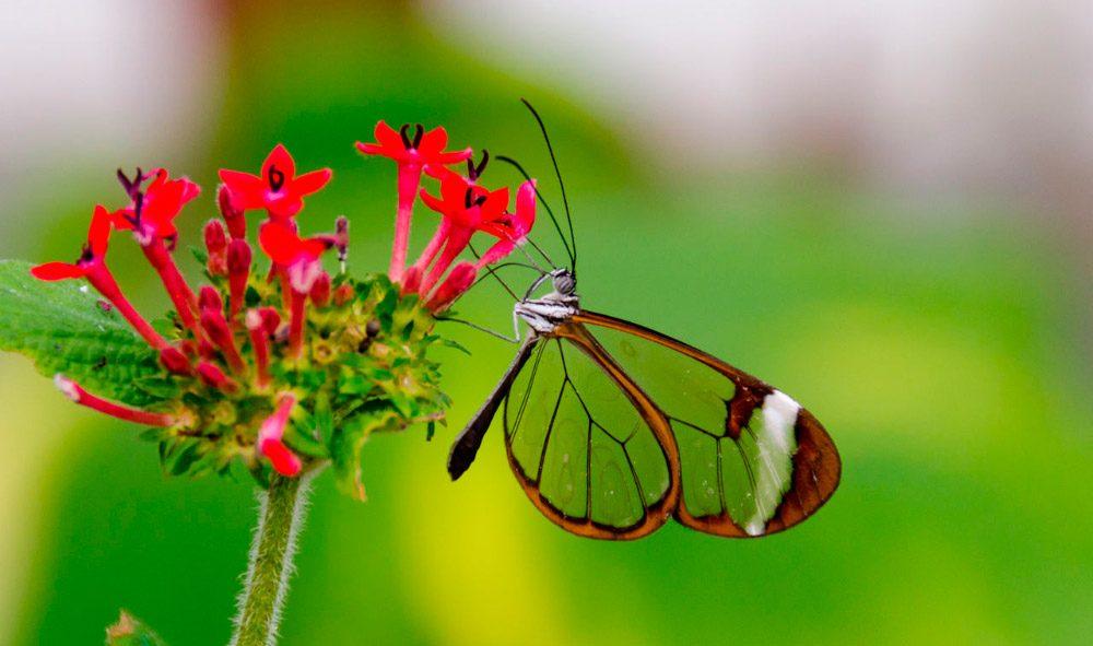Mariposas Morpho Azul