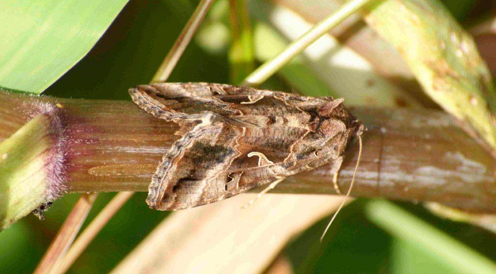 Que hacen las mariposas nocturnas