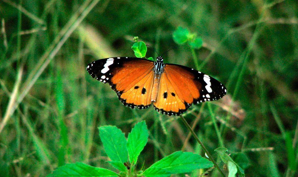 Mariposas tigre