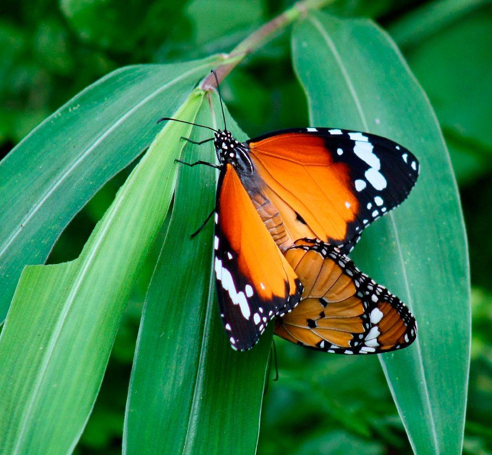 Reproducción de las mariposas tigre :: Imágenes y fotos